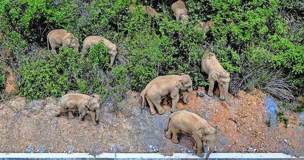 """After a year of """"stumbling on roads"""" through cities, the elephant herd finally makes its way home 