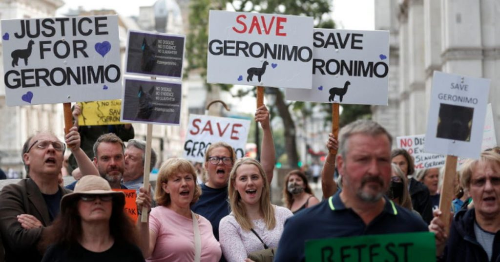 British anger over the fate of the alpaca Geronimo    Abroad