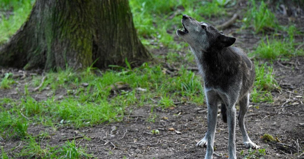German village fires rubber bullets at wolves: they are approaching our homes |  abroad