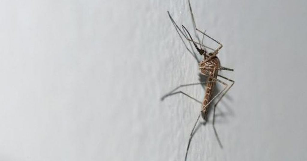 New strange mosquitoes appeared in Belgium    abroad