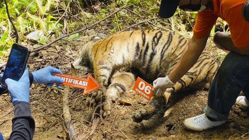 Three endangered Sumatran tigers found dead on suspicion of poaching