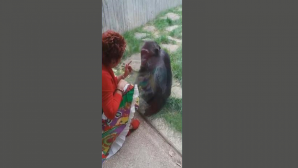 Woman banned from contact with chimpanzees: 'A fight arises within a group of monkeys'