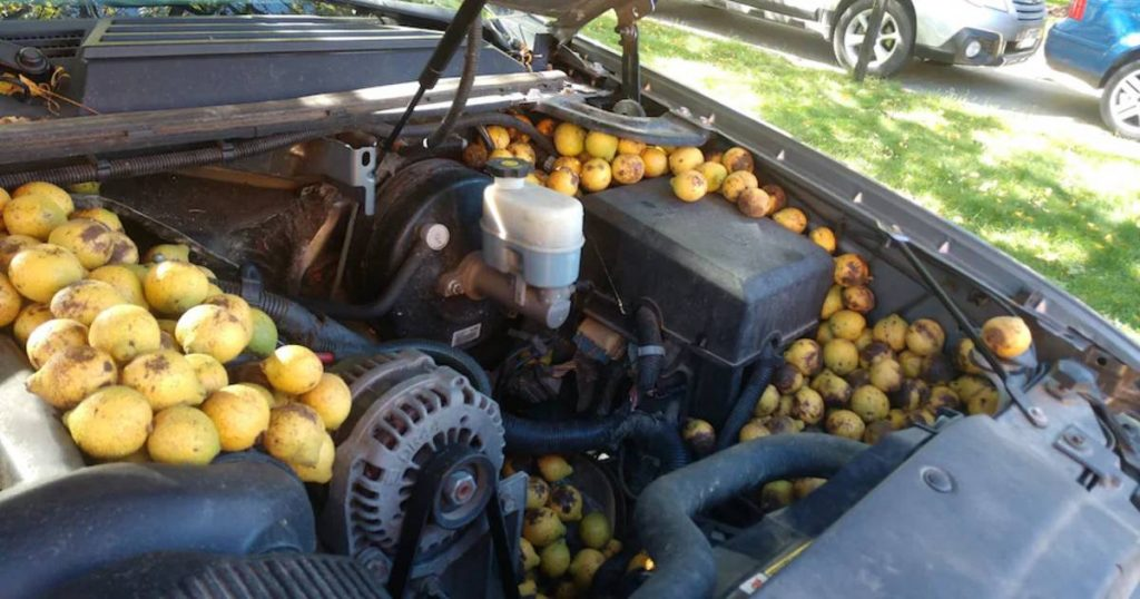 An American squirrel fills a pickup truck with thousands of nuts |  the cars