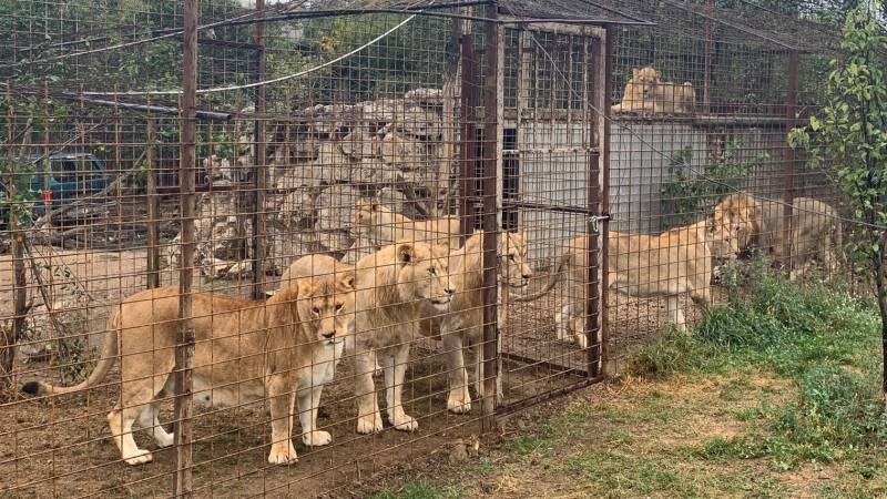 Rescue of seven neglected lions in Friesland: the largest group ever