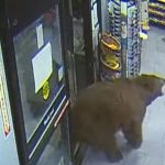 The bear that shot the party in the United States was shot